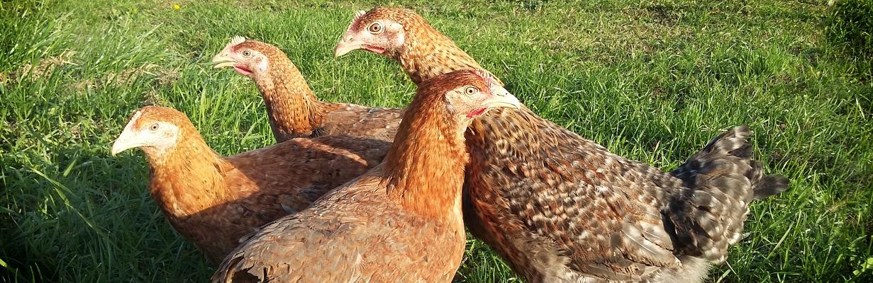 73fd729646fd Aktuálna ponuka   GYRON – Hydinárska farma a liaheň kurčiat